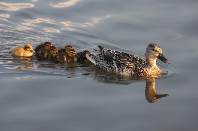 duck-207344_640