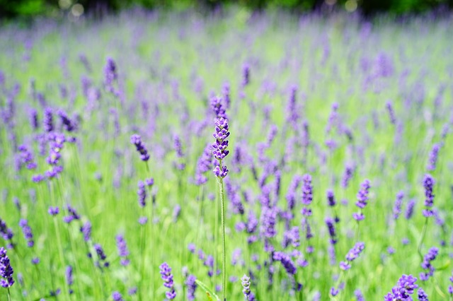 lavender-1365922_640