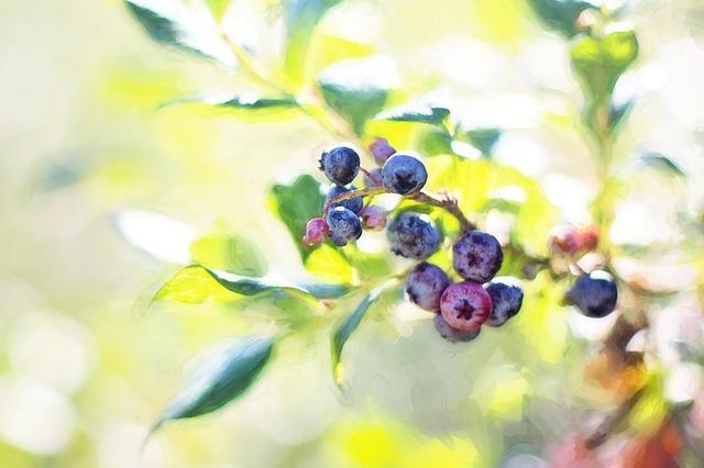 blueberries-1576400_640