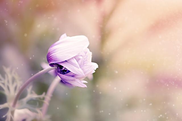 anemone-1533515_640