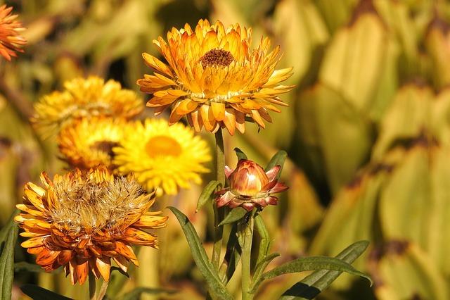 straw-flowers-1681331_640