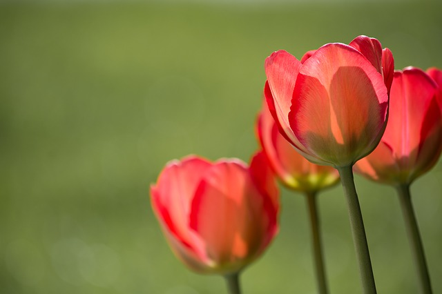 tulips-1477285_640
